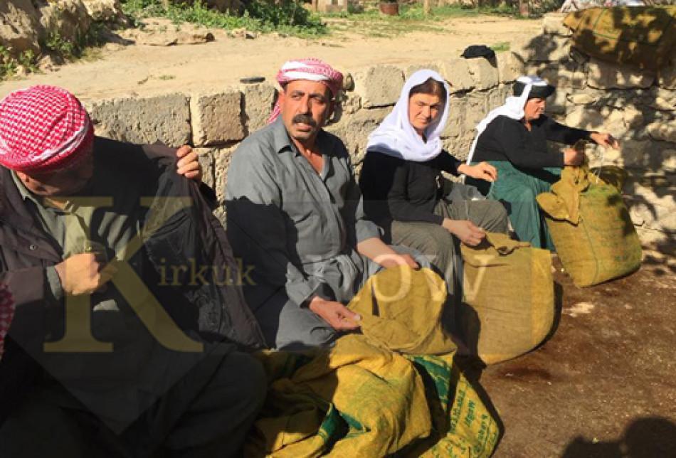 بالصور: مراسيم عصر الزيتون في معبد لالش