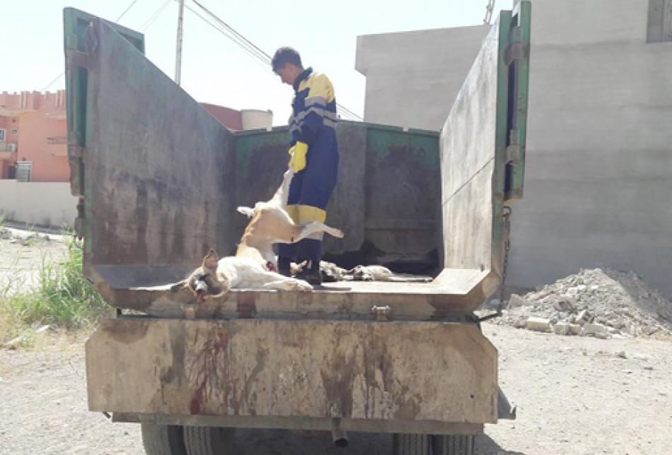بلدية كركوك تنفذ حملة لابادة الكلاب السائبة