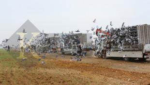 Video, fotoğraf ve bilgi ile Kerkük'te barış için beş bin güvercinin yarıştırılması