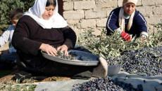في منبع الزيتون..<br> كورونا يعطّل جهود أقليات بعشيقة لتسويق محصولهم