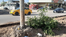قطع اكثر من 300 شجرة لانشاء رصيف كونكريتي في كركوك