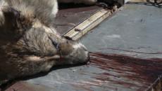 Merciless campaign to eradicate street dogs in Kirkuk