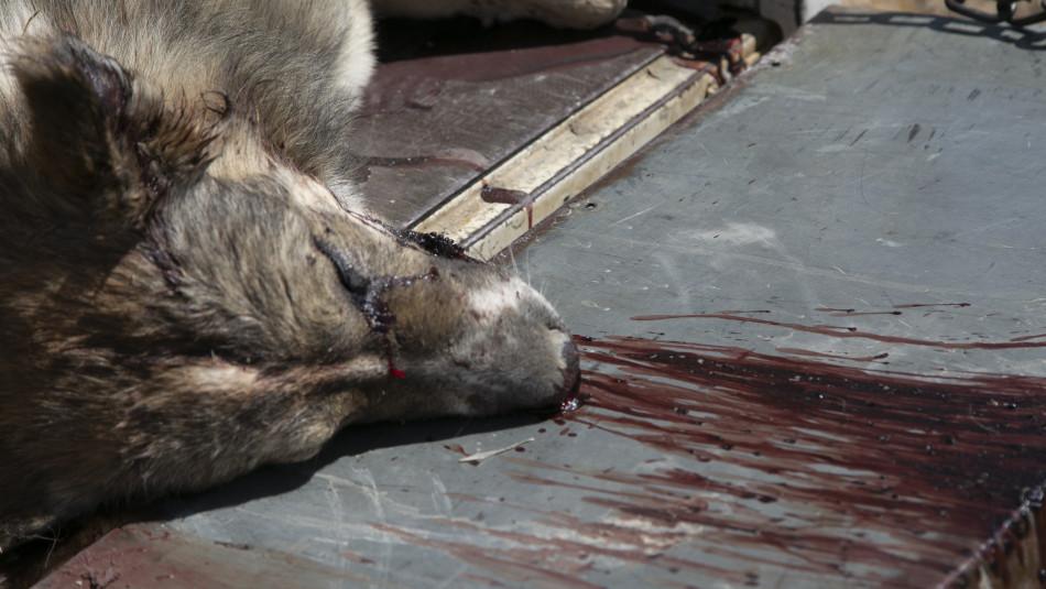 حملات التطهير ضد الكلاب الضالة مستمرة <BR>نشطاء الرفق بالحيوان مستاؤون وإدارة كركوك تقول بأن الأمر اضطراري