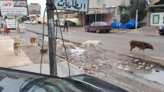 Wild dogs are given poisonous foods in Mosul