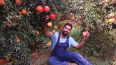 Orchards of Pomegranate in Shahraban, an icon overlooked