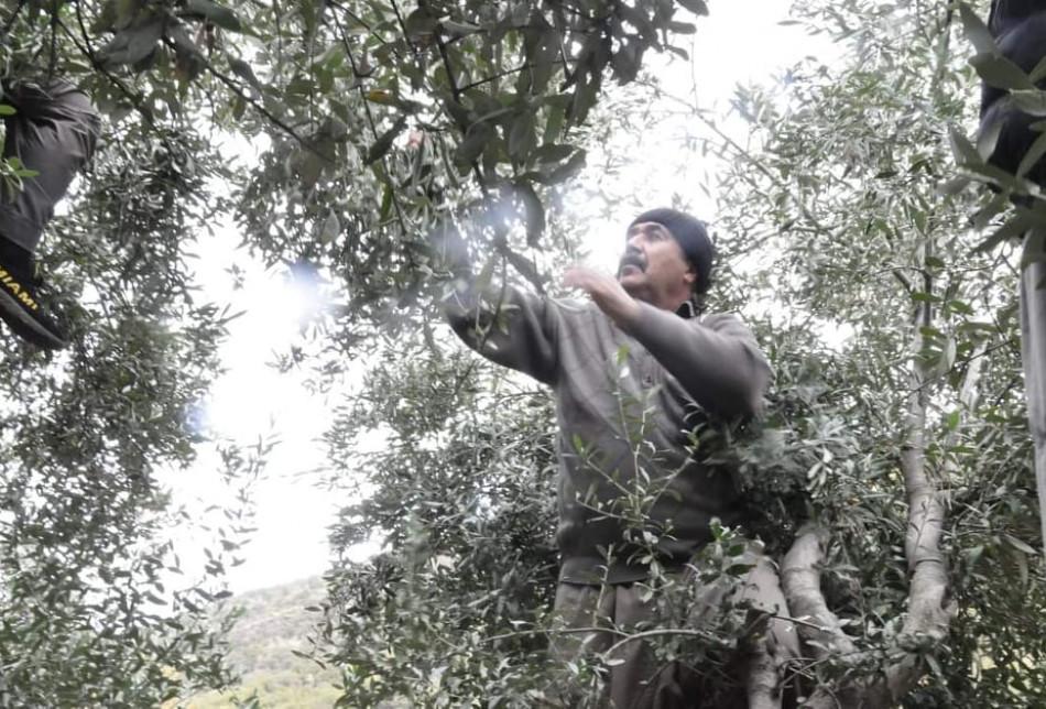 Fotoğraflarla Laleş Tapınağı'nda zeytin hasadı