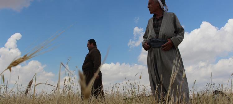 الجفاف يضرب محاصيل الحبوب في كركوك و يرفع أسعارها