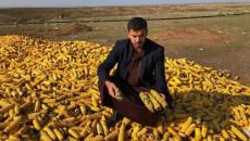 تطمينات لفلاحي الذرة في كركوك باستلام محاصيلهم وتسويقها رغم تلف اغلبها