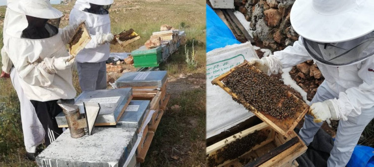 Honey production booms as bees return to Shingal